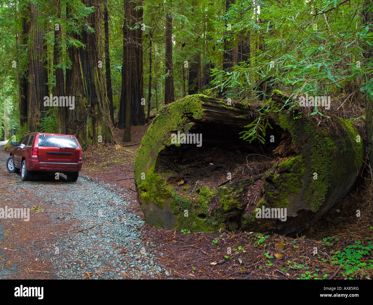 Fallen Redwood Trunk Avenue of the Giants Humboldt Redwoods State Park California USA - Stock Image