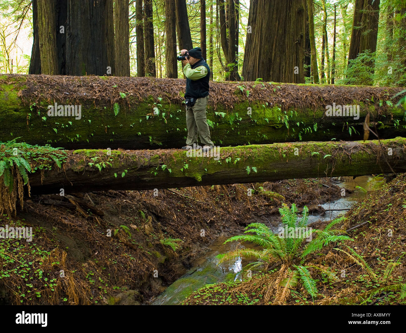 Photographing the Redwoods Humboldt Redwoods State Park California USA - Stock Image