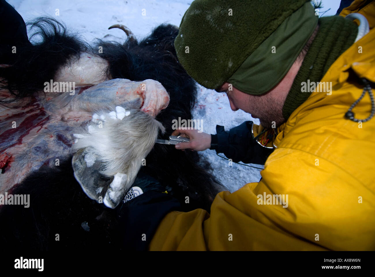 Without food for almost 2 days the recruits must kill skin and butcher a musk ox for food Survival week Danish Special - Stock Image