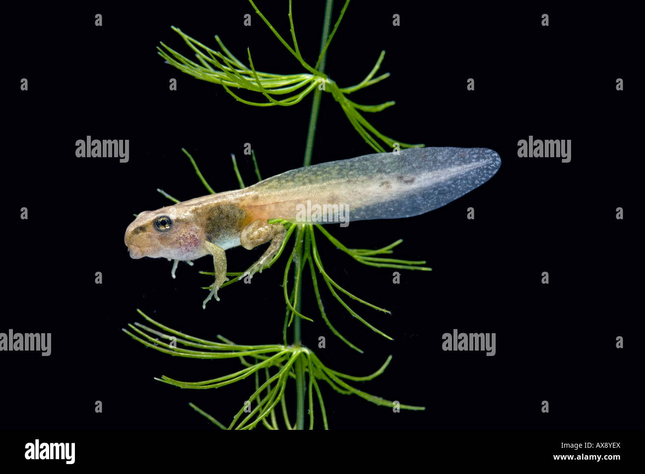 Common frog Rana temporaria tadpole with 4 legs - Stock Image