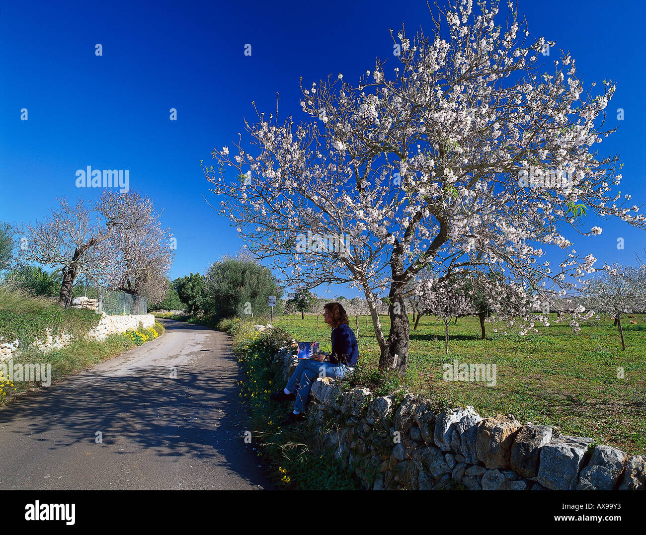 Bloomer Almond Tree, Palma de Mallorca Mallorca, Spain - Stock Image