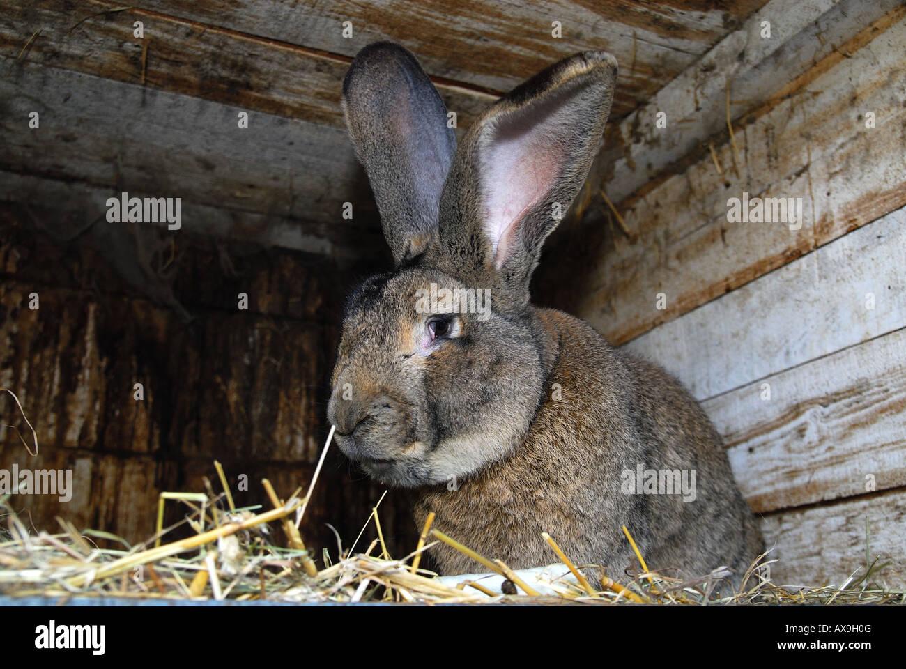 german grey giant rabbit in hutch stock photo 16773903 alamy