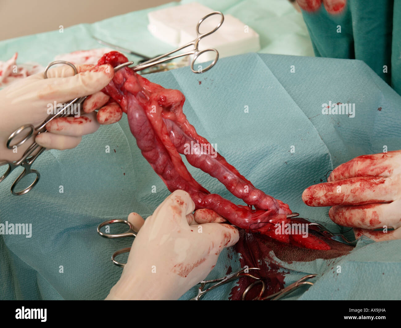 Vererinary surgeons removing a badly inflamed uterus of a doberman pinscher dog - Stock Image