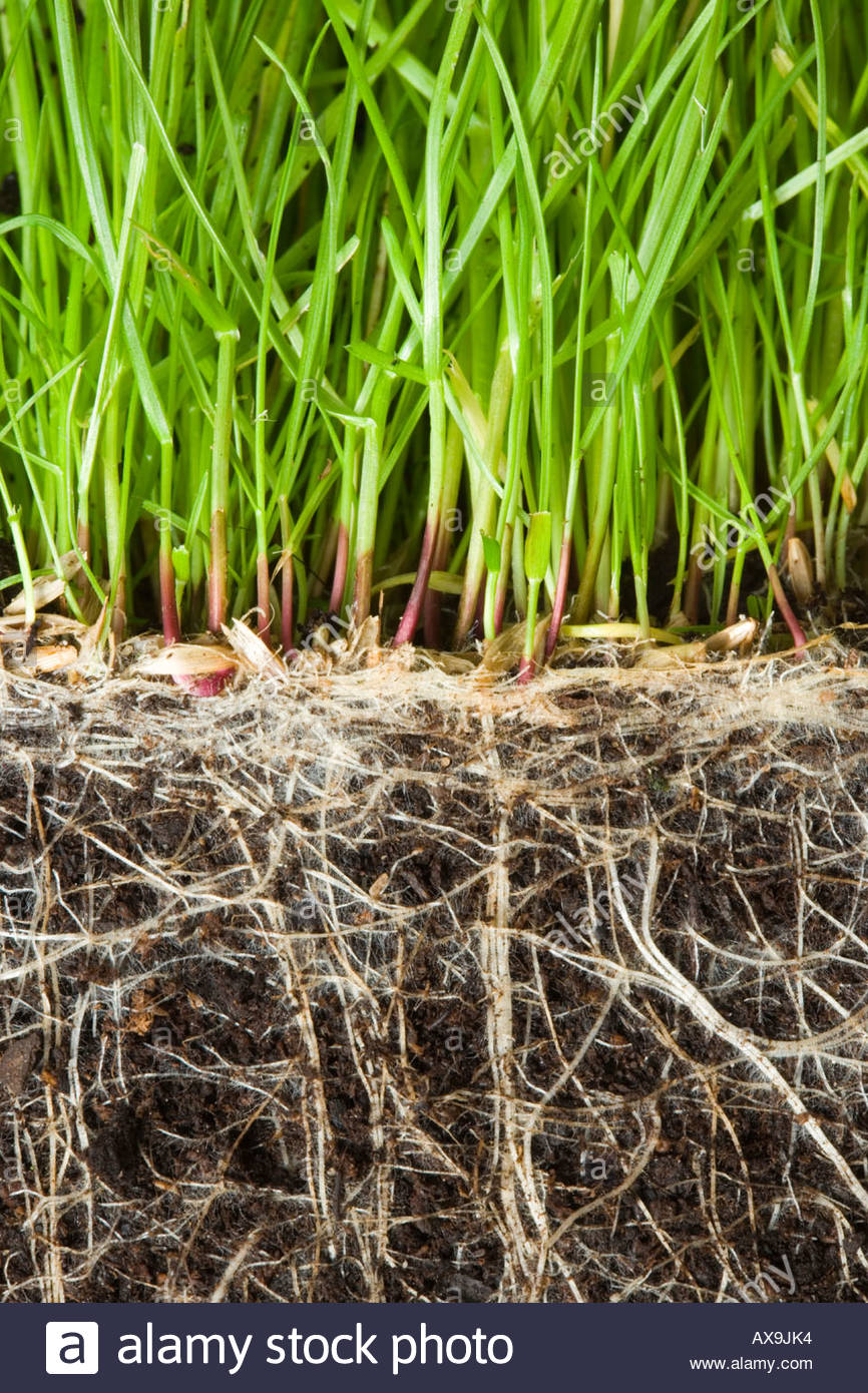 Grass showing roots underground Stock Photo