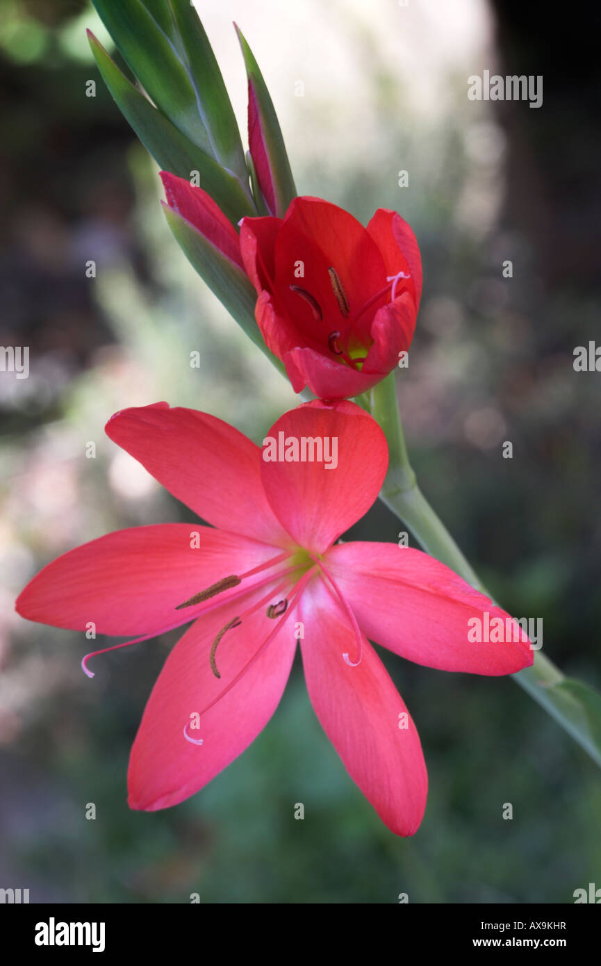 Flower red kaffir lily stock photos flower red kaffir lily stock schizostylis coccinea or kaffir lily red flower stem and buds stock izmirmasajfo