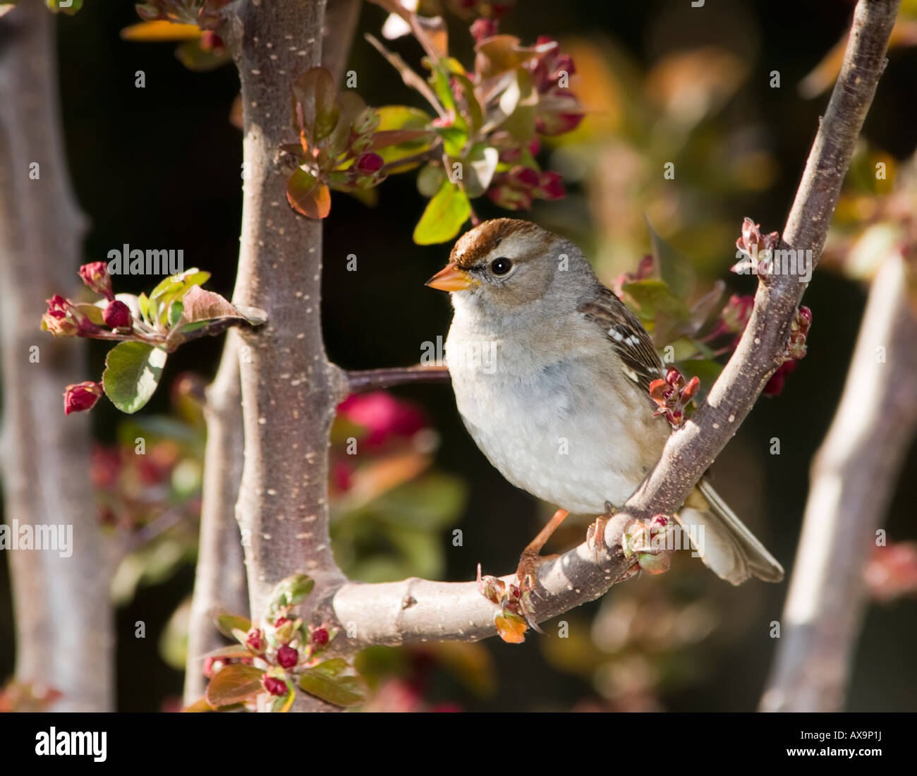 Chipping Sparrow, Spizella passerina, perched in a budding Crabapple tree, Malus. Oklahoma, USA. - Stock Image