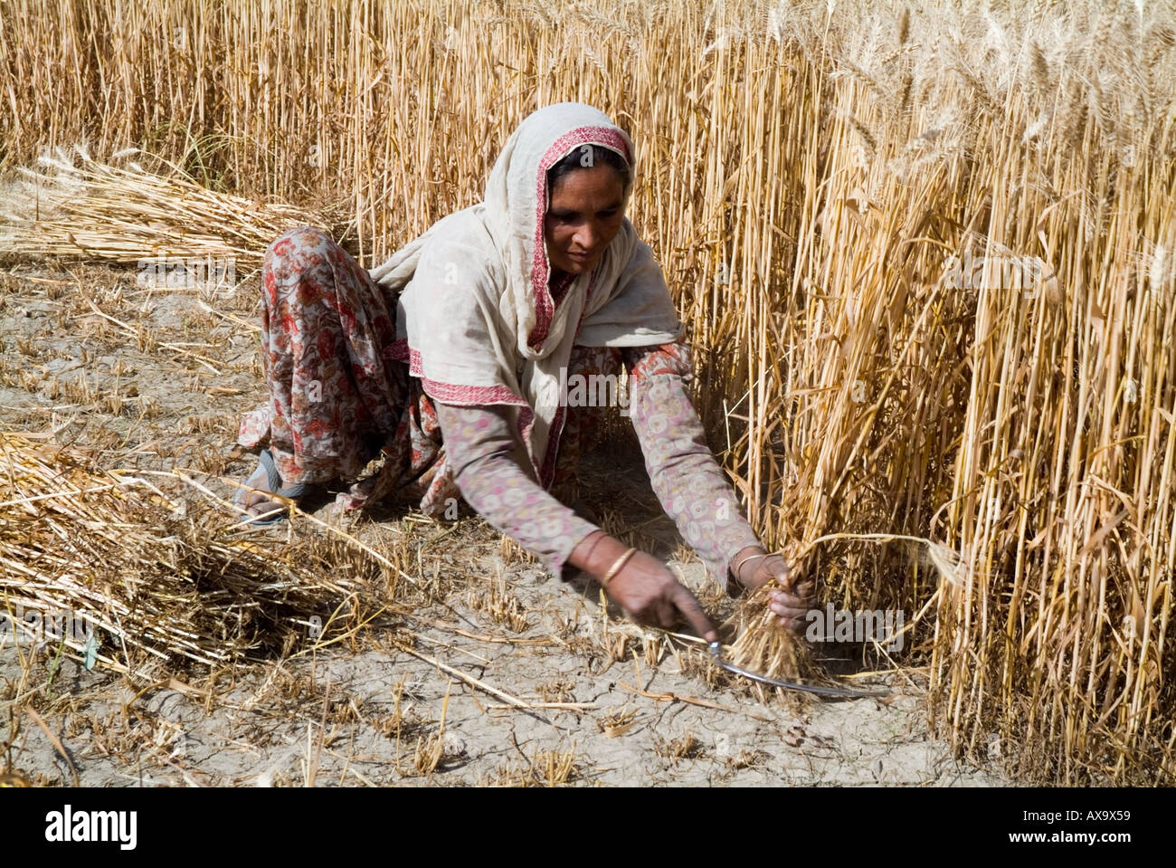 Woman Labourer Cutting Wheat by Hand - Stock Image
