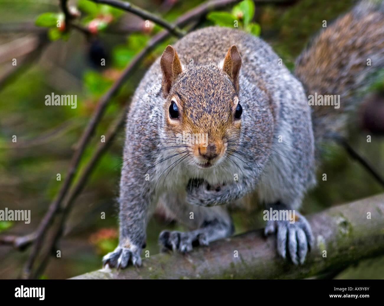 Grey Squirrel (sciurus carolinensis) in Tree - Stock Image
