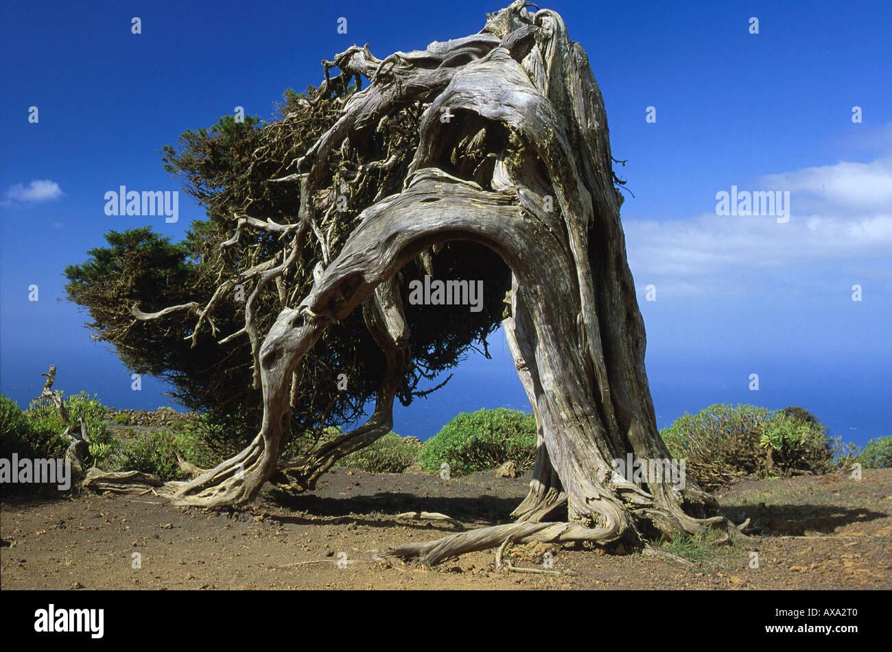 Wacholderbaum El Sabinar, El Hierro, Kanarische Inseln Spanien, Seite 125 o.re. Stock Photo