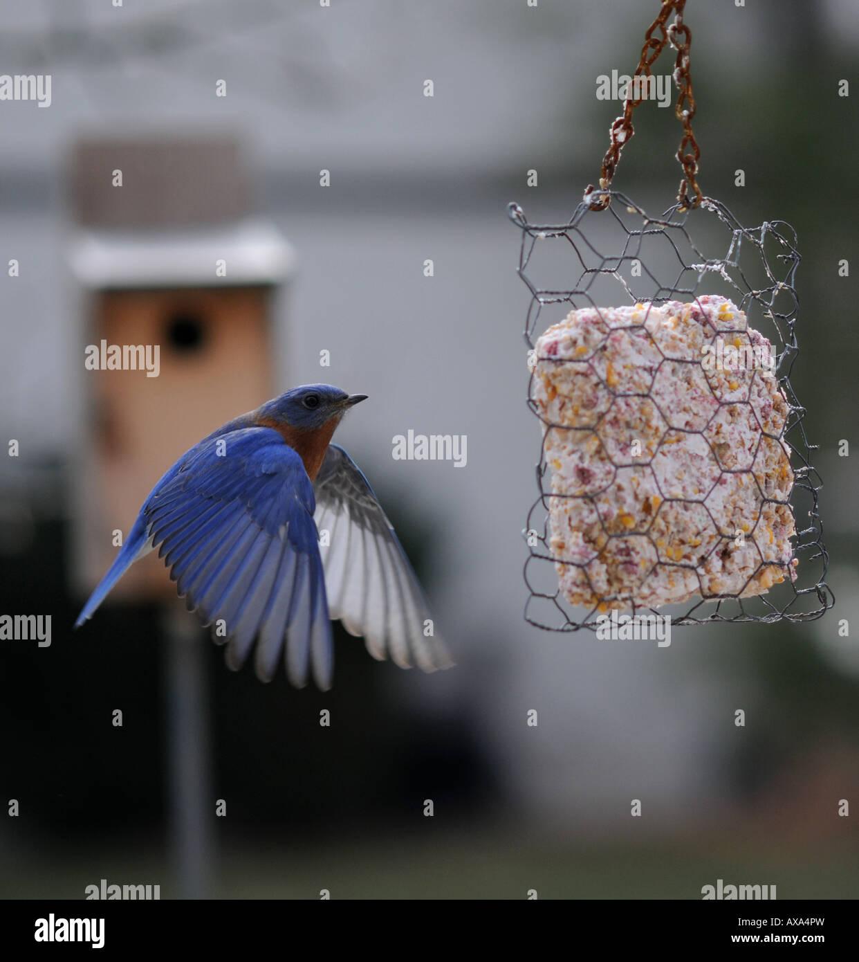 Bluebird - Stock Image