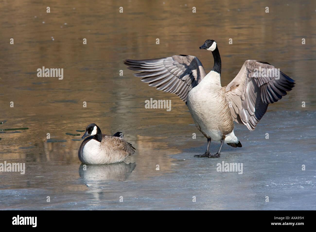 Pair of geese at the Inglewood bird sanctuary, Calgary Alberta. Stock Photo