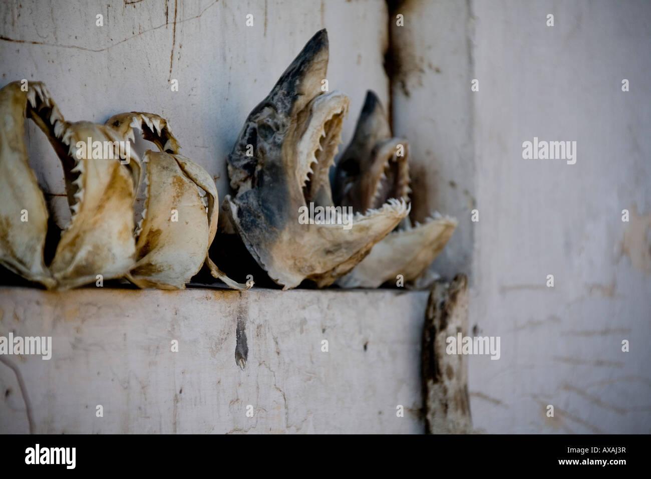 Head of shark, jaws for sale by street seller in Agadir