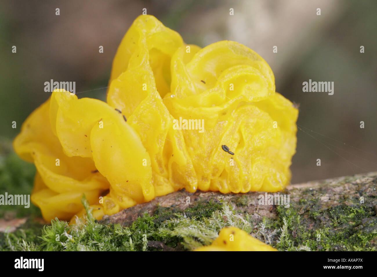 Yellow brain fungus, tremella mesenterica - Stock Image