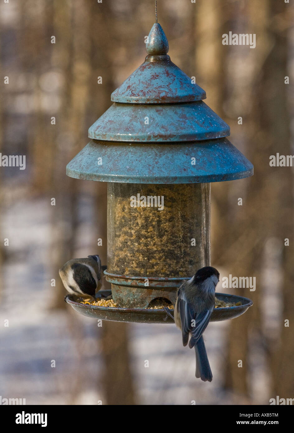 black capped chickadees on bird feeder - Stock Image