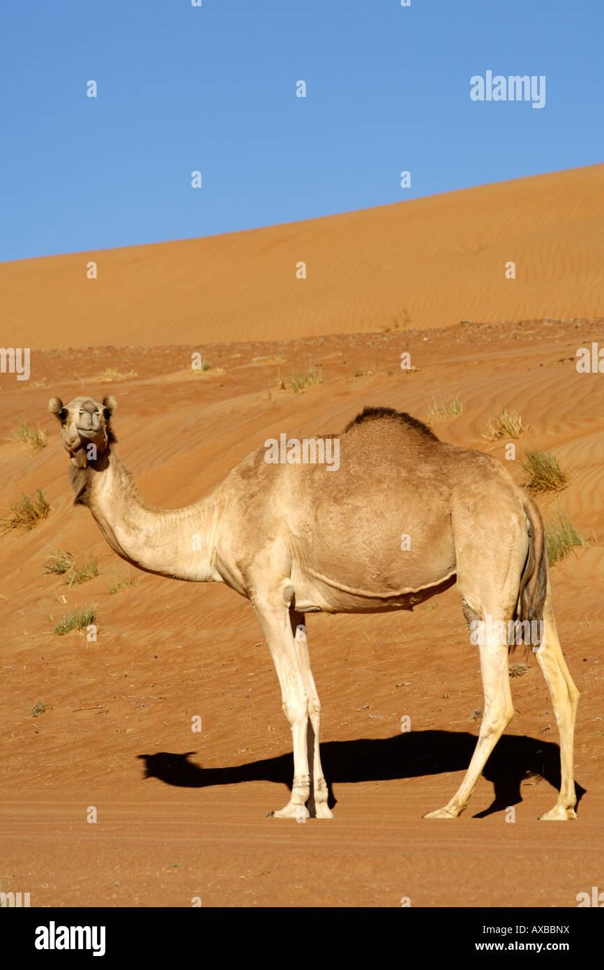 An Arabian camel / one-humped dromedary (Camelus dromedarius) in Wahiba Sands in Oman. Stock Photo
