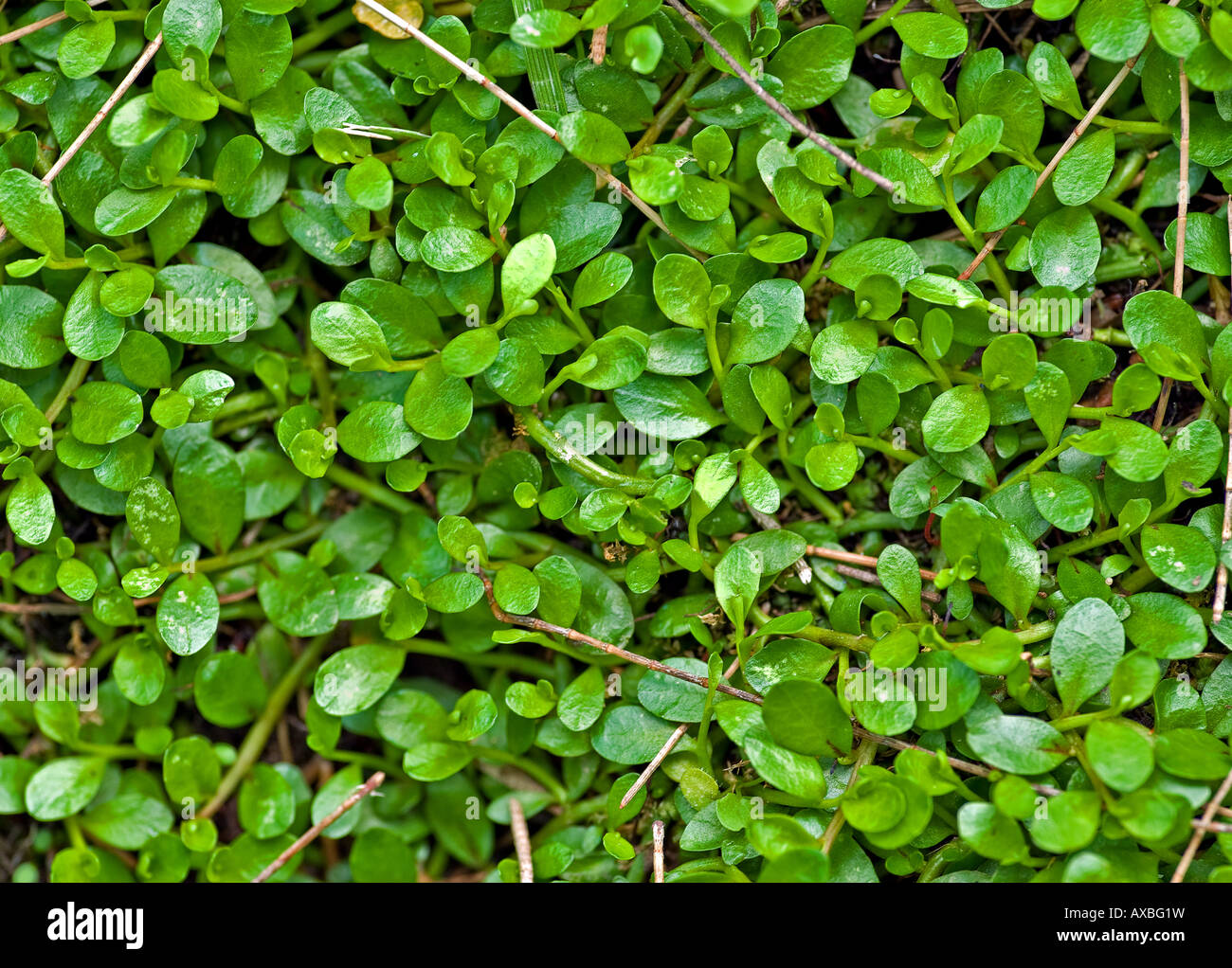 beautiful green creeper makes a great nature plant background - Stock Image