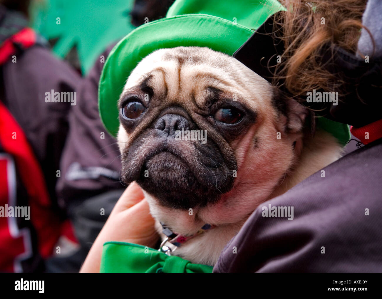 A pug dog dressed up for the St Patrick's Day Parade on March 16, 2008 in Montreal, Quebec, Canada. - Stock Image