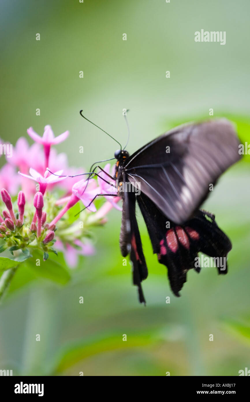 Pink and black butterfly on flower Stock Photo