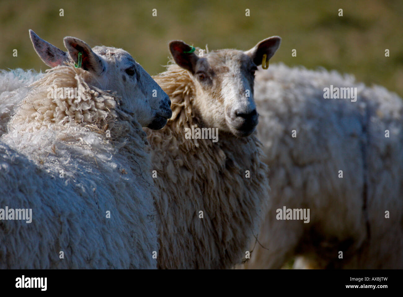 White woolly sheeps close up head.Farm, Pembrokeshire, Wales - Stock Image
