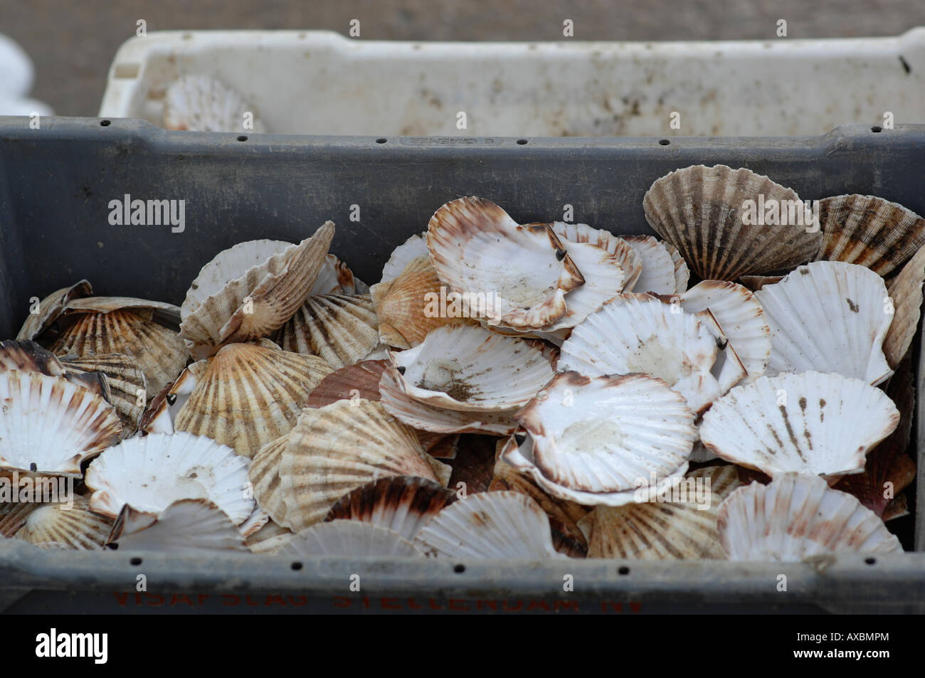 Shells in Folkestone harbour, Kent - Stock Image