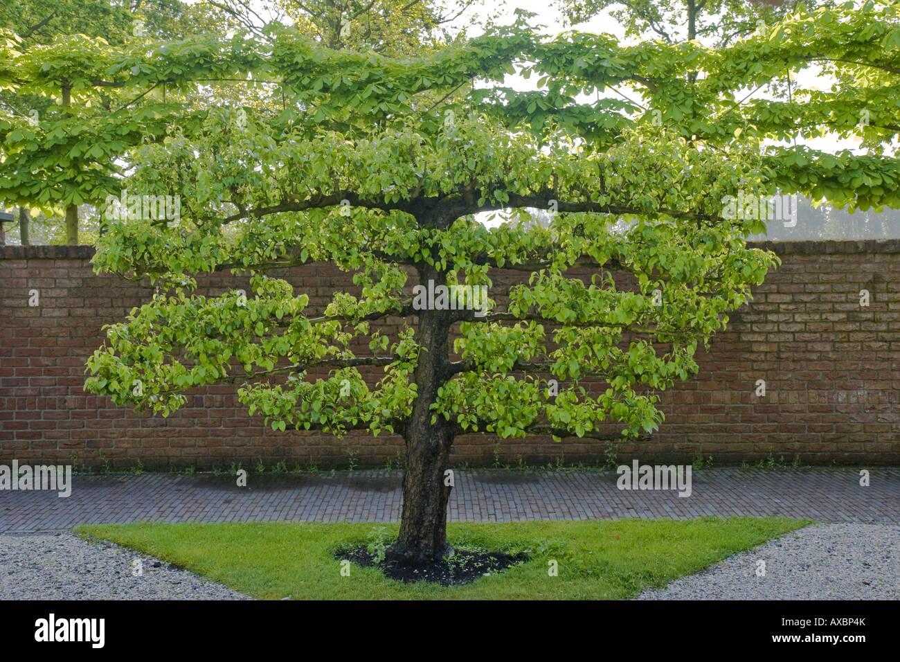 Espalier Fruit Tree In A Garden Netherlands Northern Netherlands