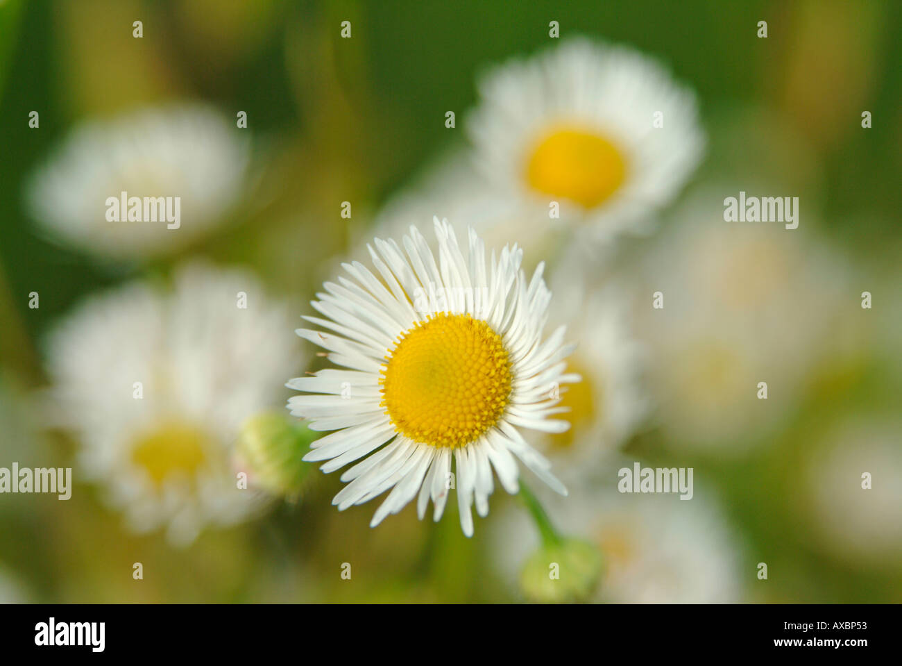 Bellis perennis l stock photos bellis perennis l stock images alamy close up of some flowers of daisy daisies bellis perennis l stock image izmirmasajfo