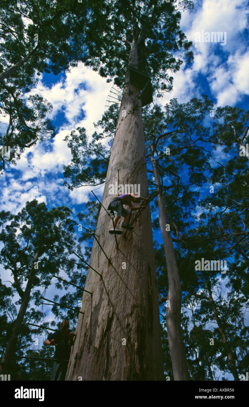 Tree climbers scale Dave Evans Bicentennial Tree in glorious Warren National Park near Pemberton Western Australia - Stock Image