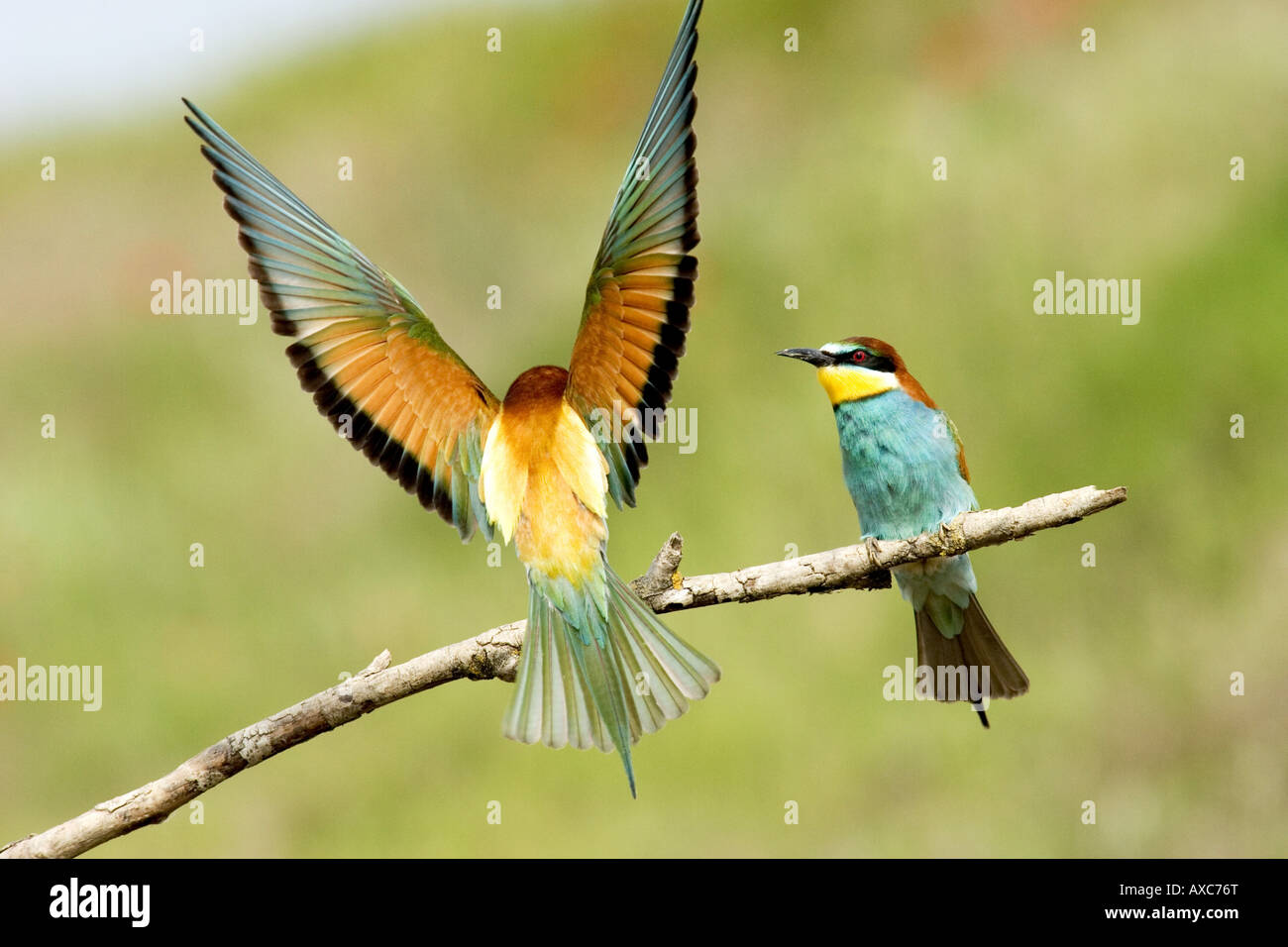 european bee eater merops apiaster flapping wings on branch stock