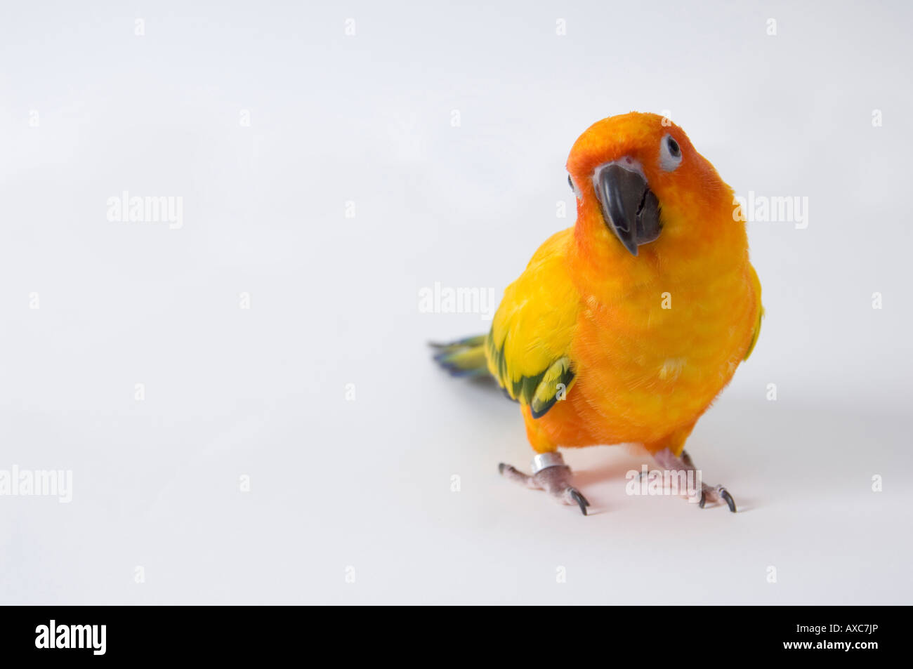 Small parrot - a sun conure stands with head tilted slightly, appearing curious, against white background. - Stock Image