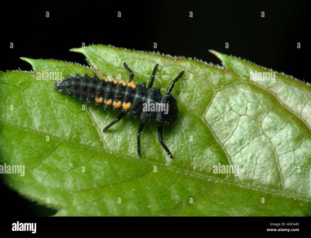 black and yellow bug macro on green leaf Stock Photo