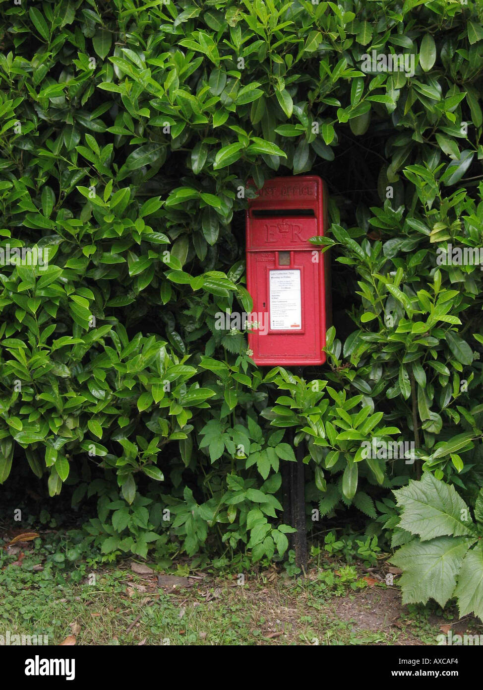 A red post box in a green laurel hedge - Stock Image