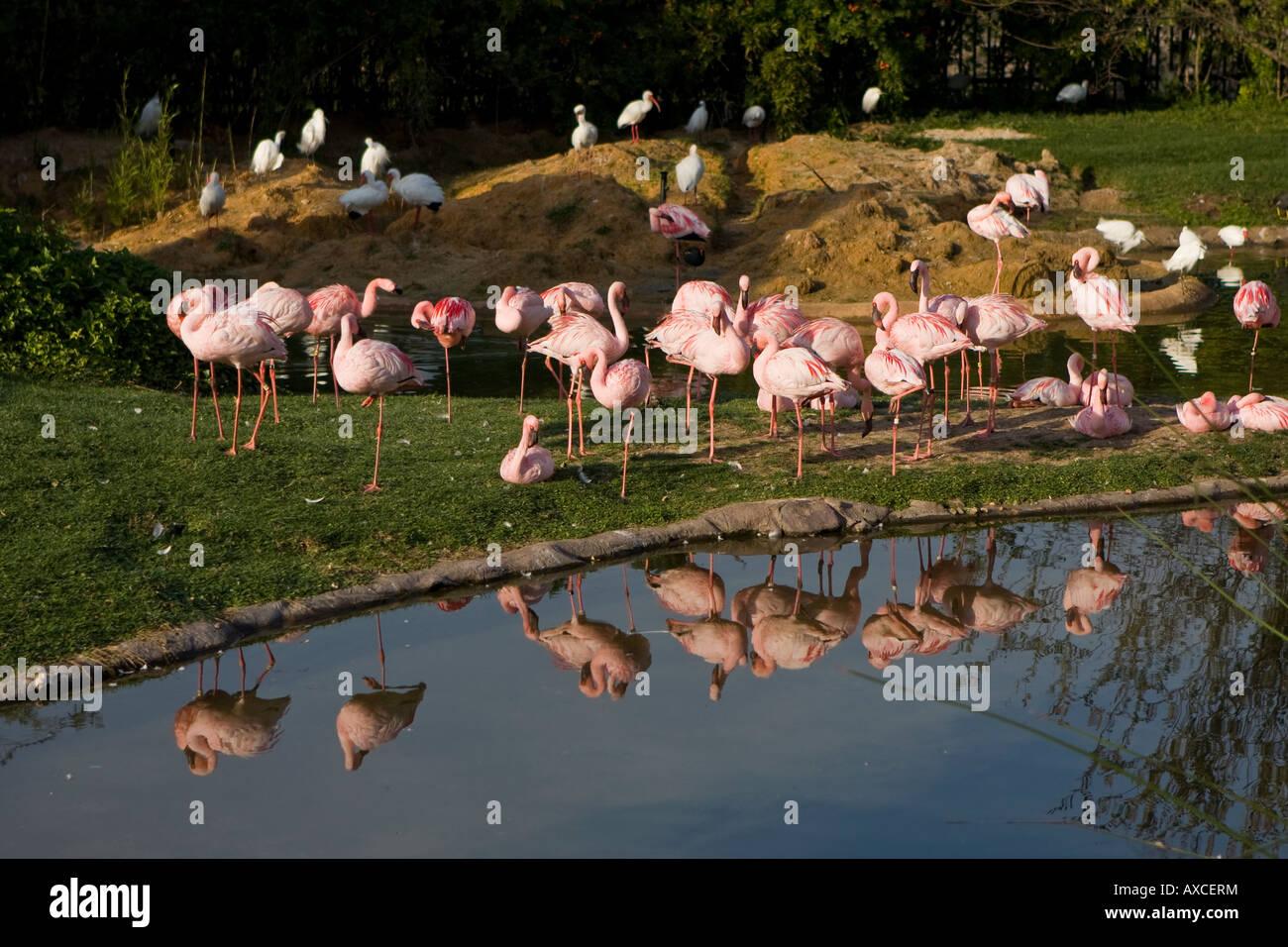 A Flock of Pink Flamingos at Busch Gardens Florida USA Stock Photo ...