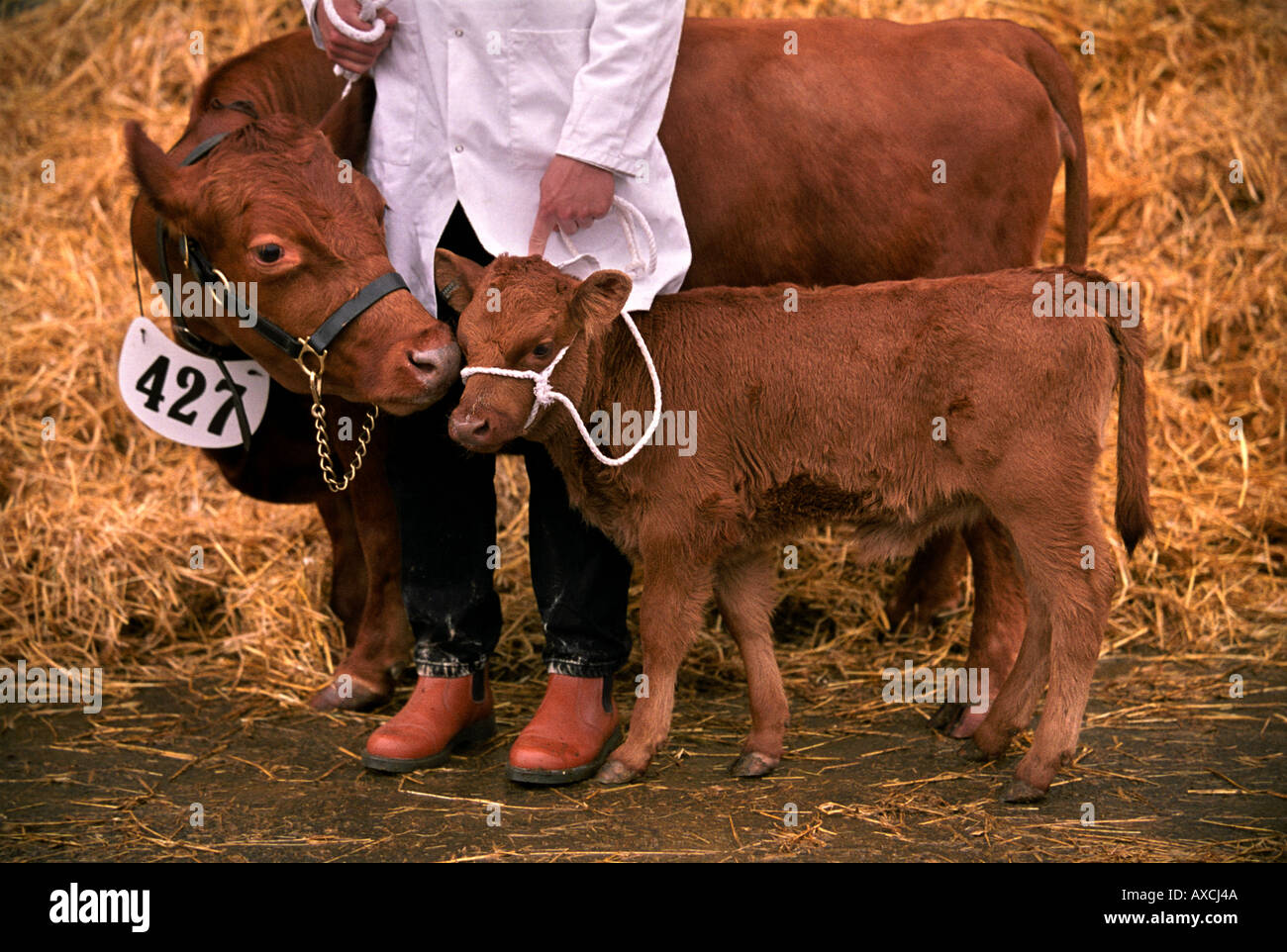 A RED DEXTER CALF WITH ITS MOTHER ABOUT TO SHOW IN THE COW IN MILK CLASS AT THE ROYAL BATH AND WEST SHOW - Stock Image