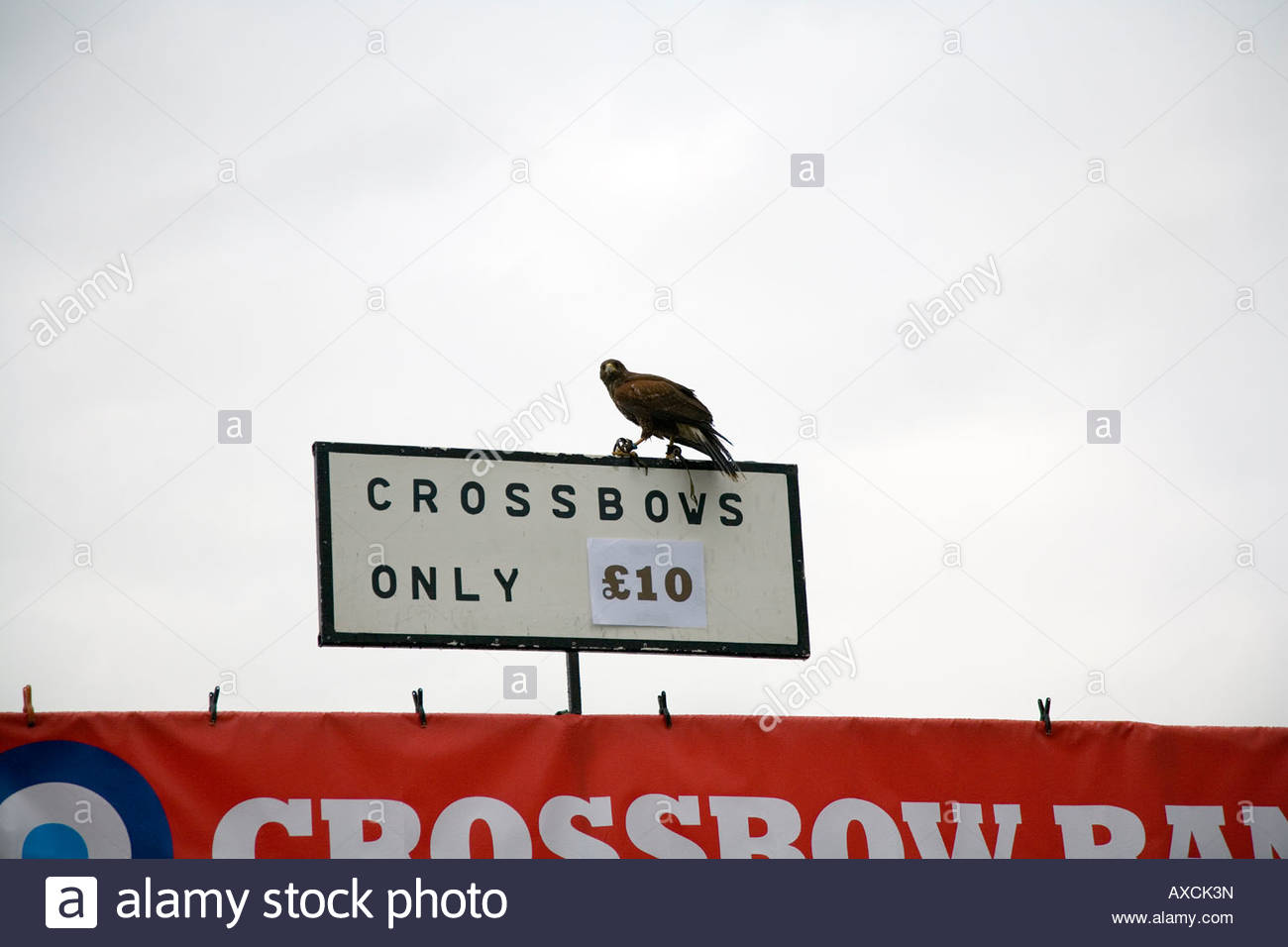 Harris Hawk perched on sign selling crossbows at Thame Country show - Stock Image