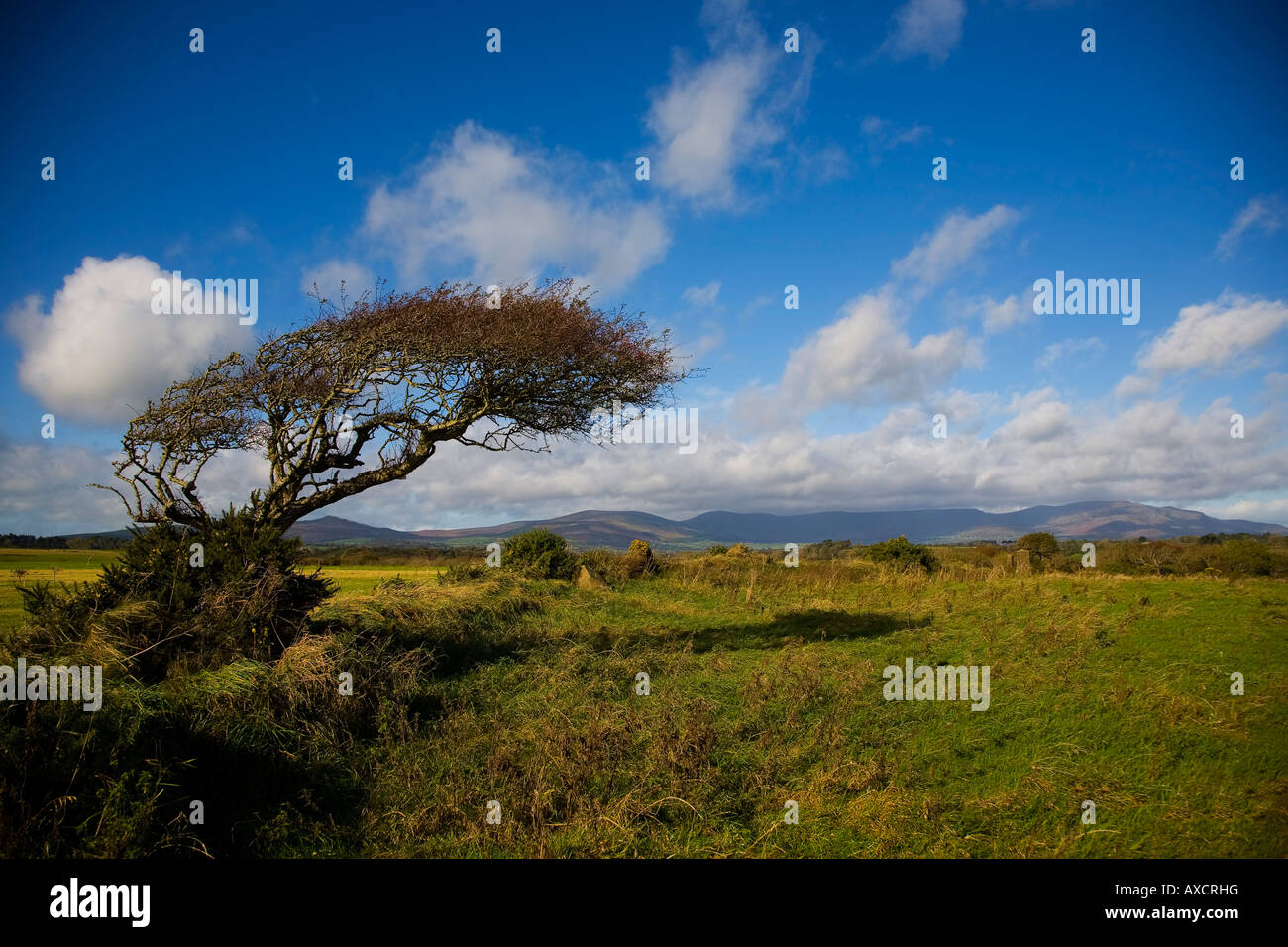 Sculptural windswept Hawthorn tree and distant Comeragh Mountains, County Waterford, Ireland - Stock Image