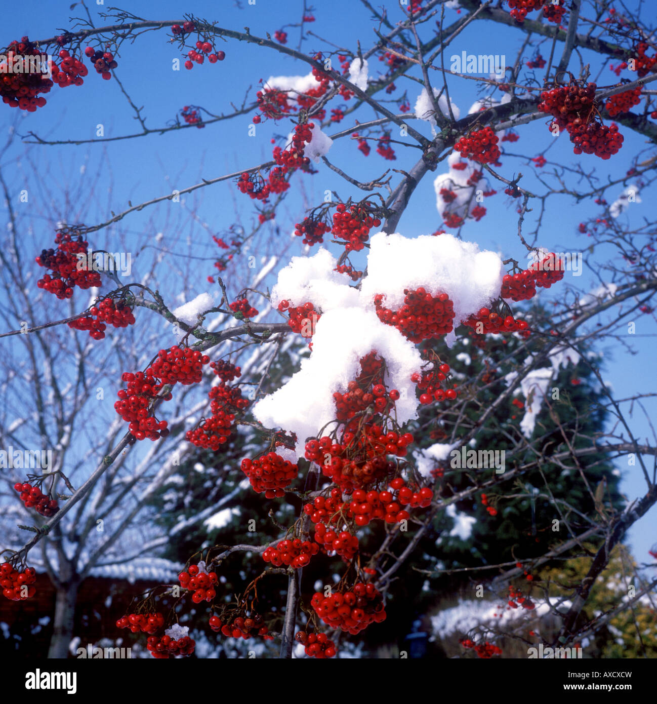 Misterton - Snow settled on red berries Stock Photo