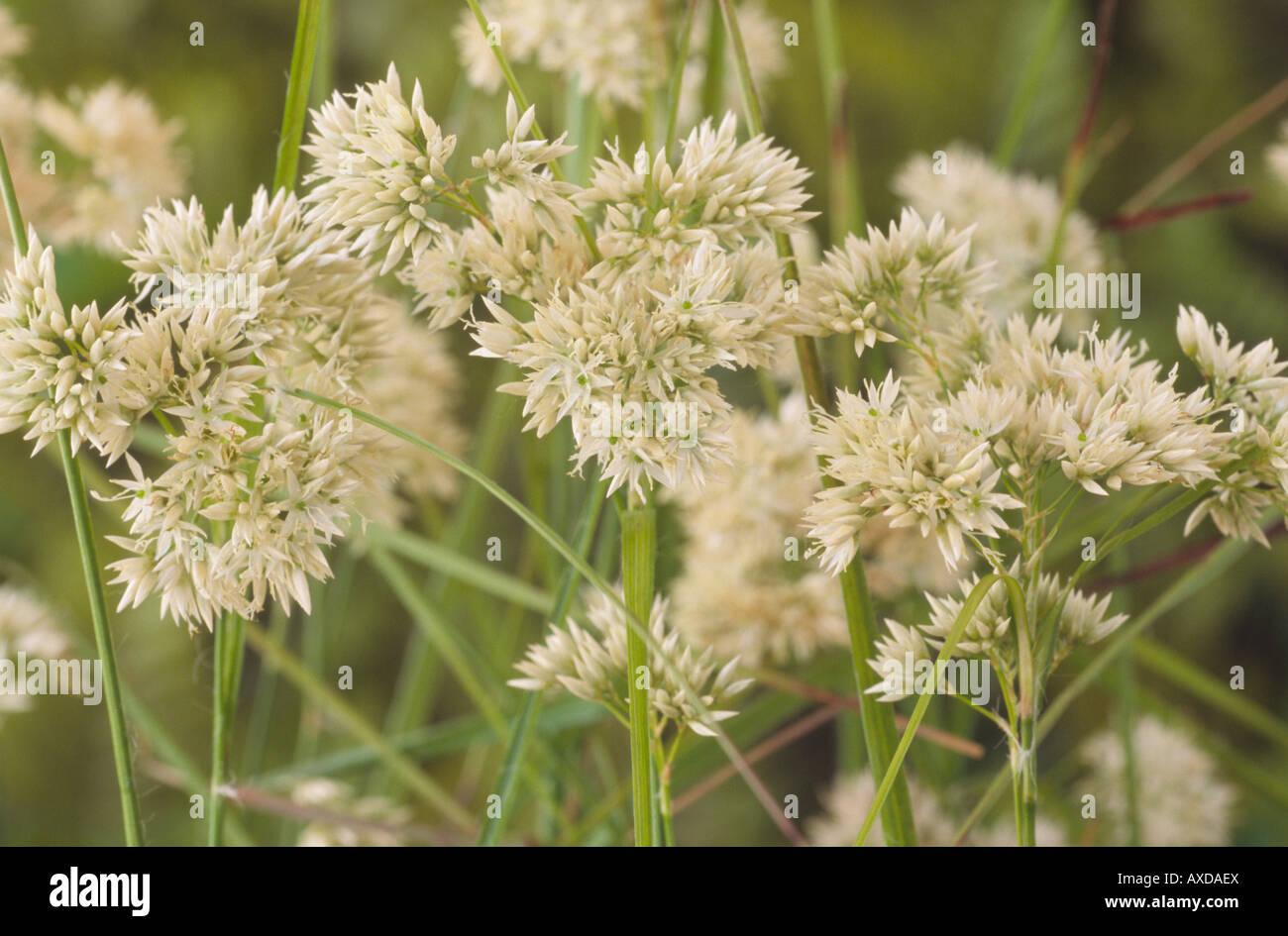 Luzula nivea (Snowy woodrush) - Stock Image