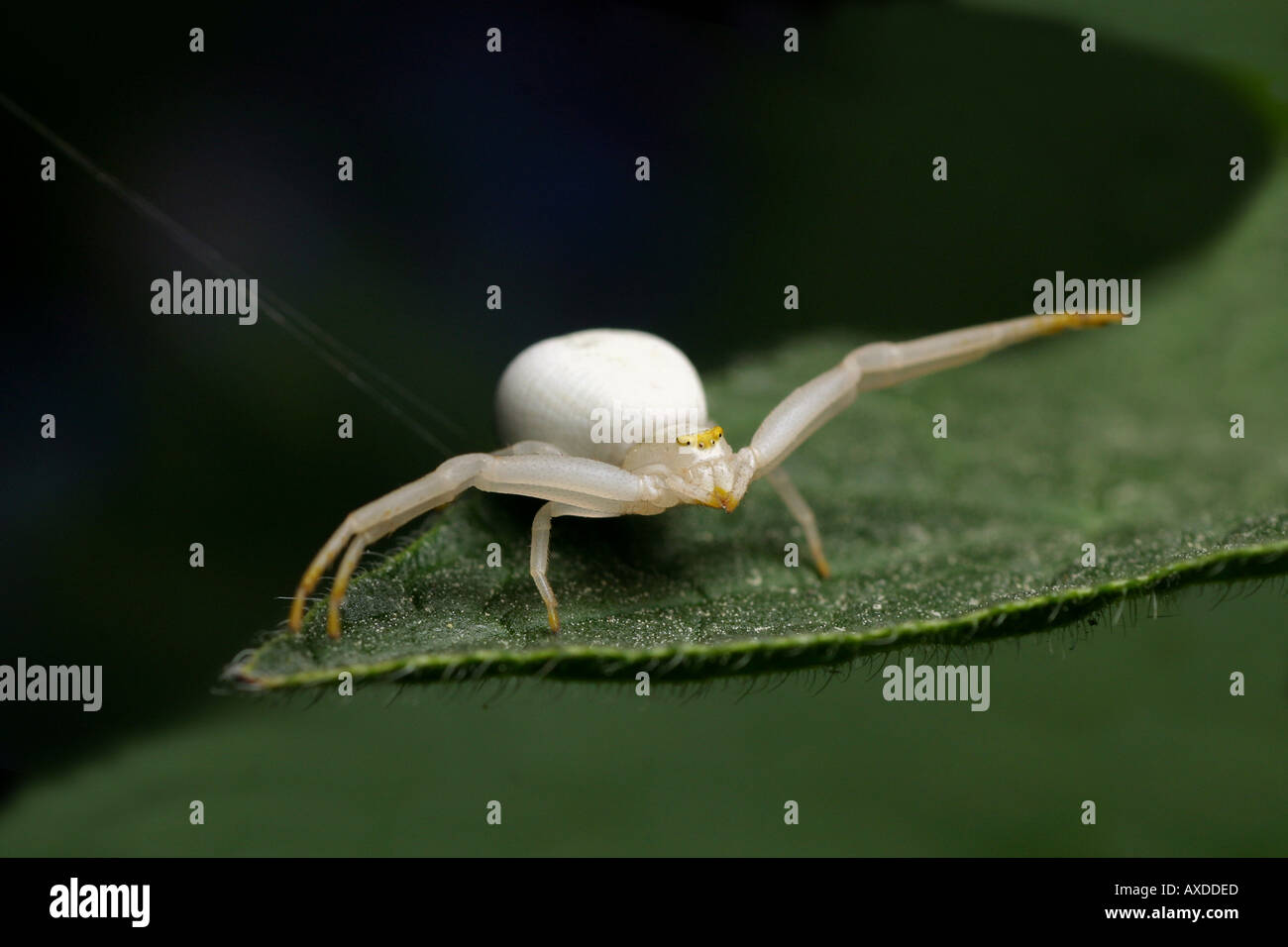 White Goldenrod Crab spider - Misumena vatia Stock Photo
