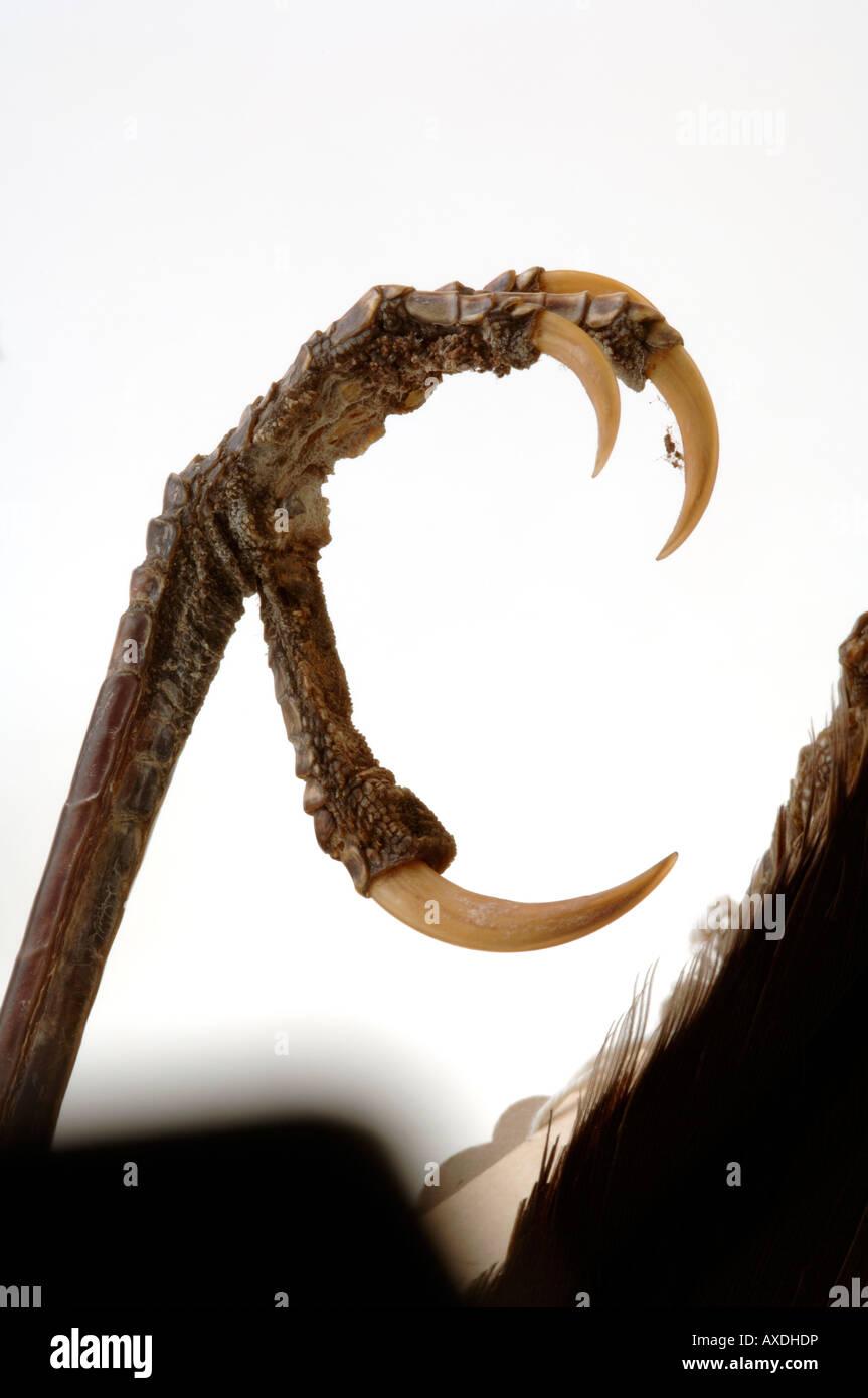Extinct bird, Heteralocha acutirostris, Huia, Yale Peabody Museum collection, YPM 14730 Stock Photo