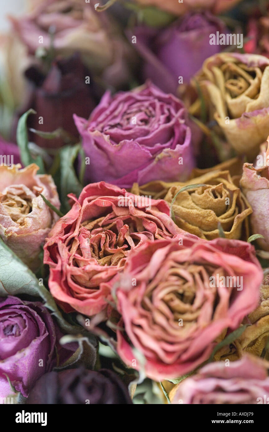 Dried Purple Roses Stock Photos & Dried Purple Roses Stock Images ...