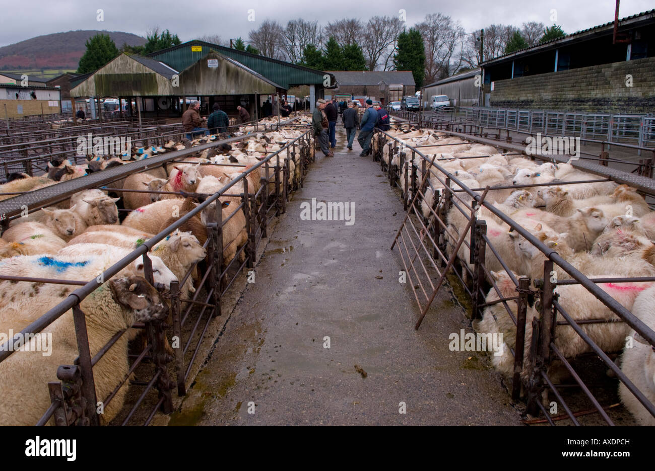 Animal Auction Stock Photos & Animal Auction Stock Images - Alamy