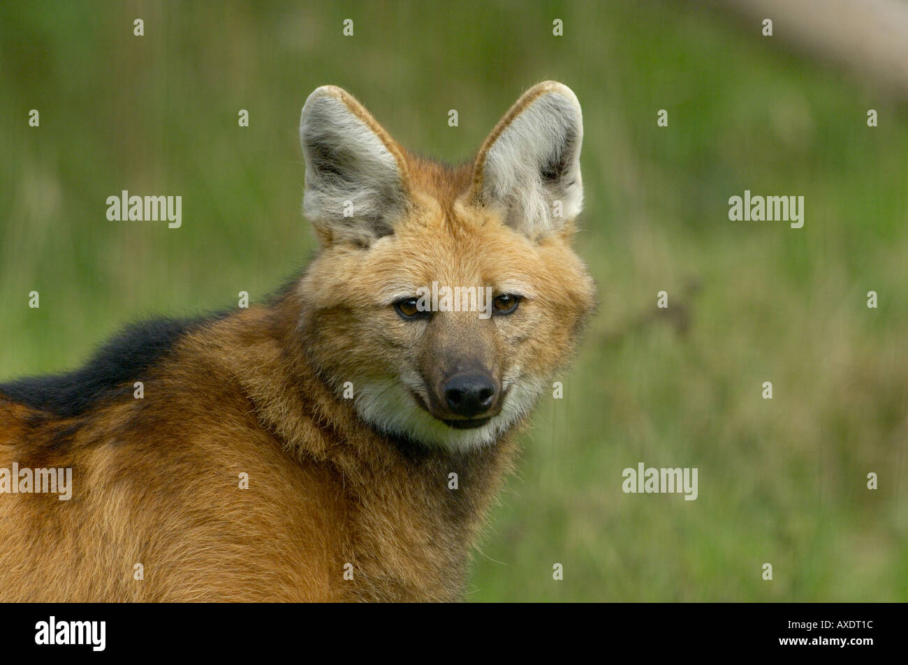 Maned Wolf Chrysocyon branchyurus  Endangered - Stock Image
