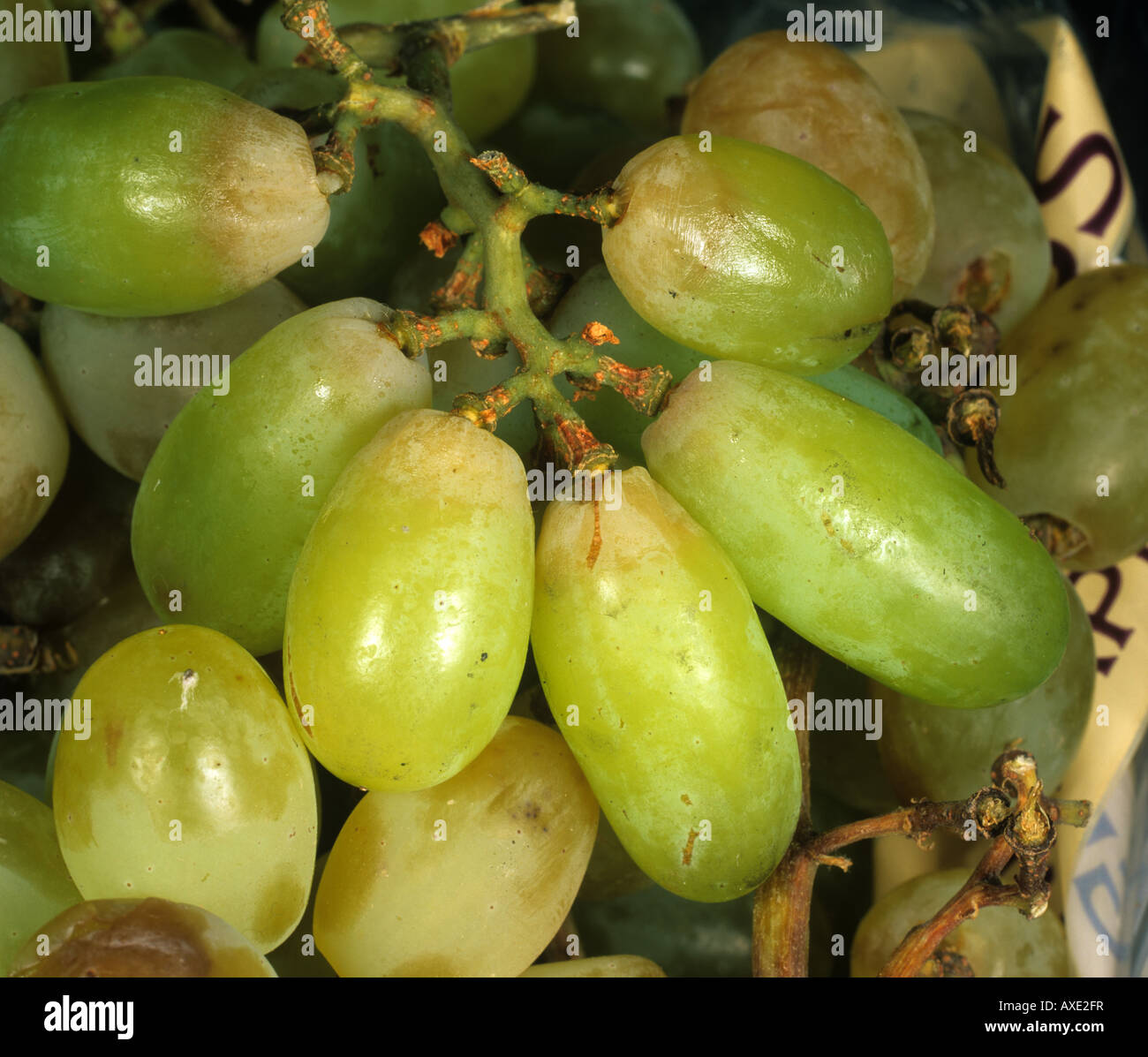 Sulphur dioxide bleaching of grapes sulphur dioxide is used as a preservative - Stock Image