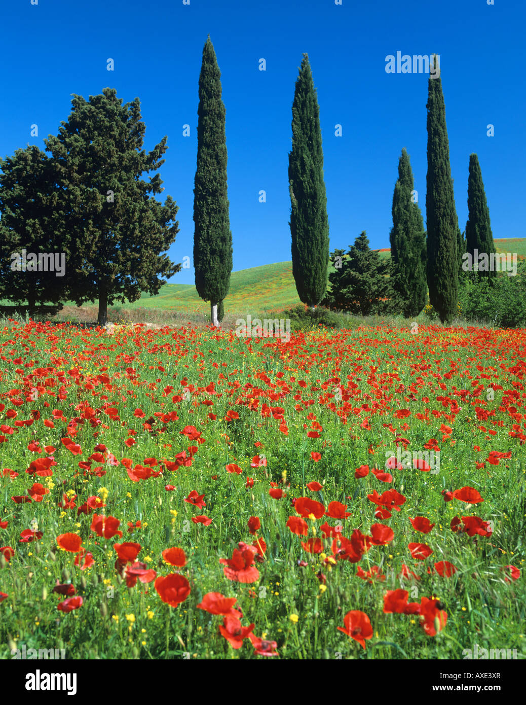 Cypress trees and poppies in tuscan countryside,tuscany,Italy. - Stock Image