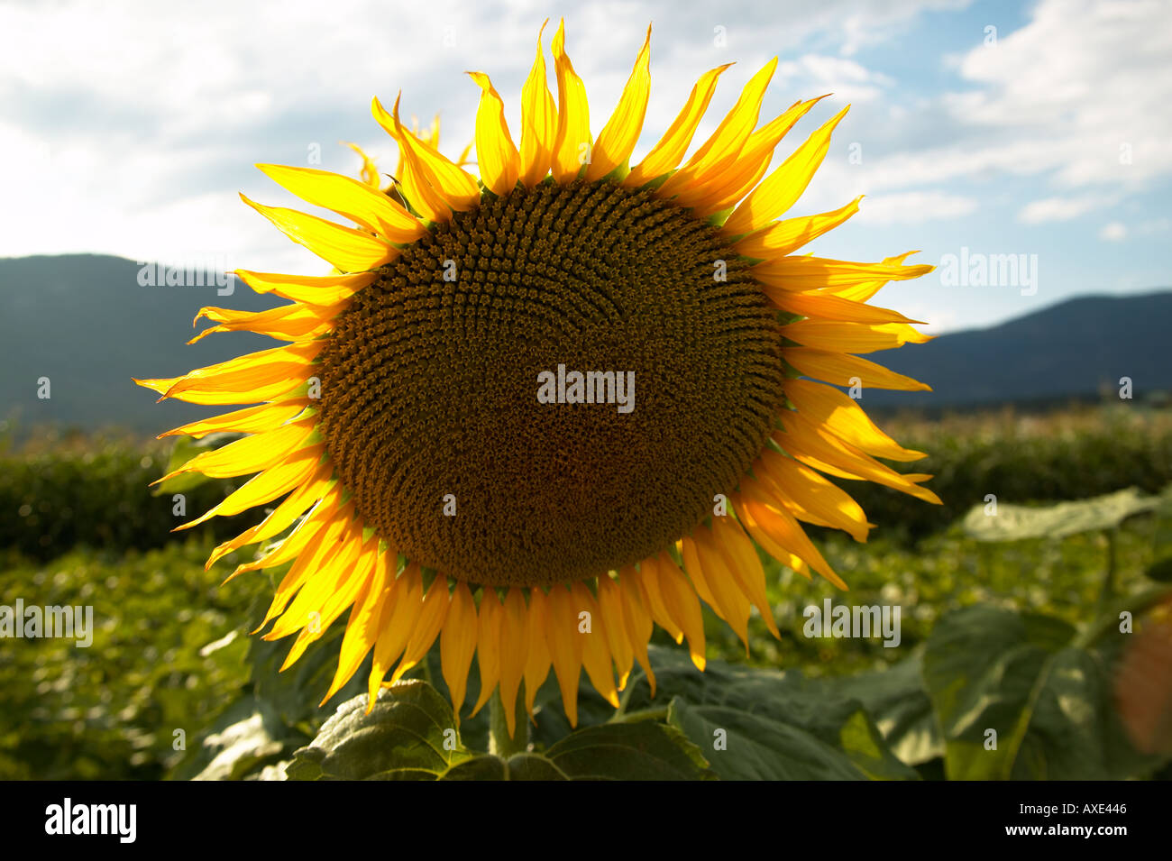 Aesthetic Flower Head Horticultural Natural Petal Floral High Resolution Stock Photography And Images Alamy