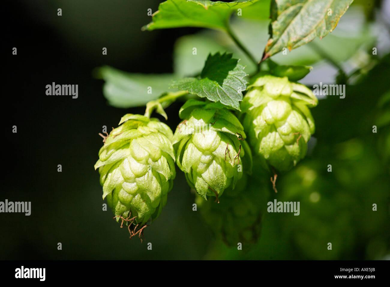 Hop, Hallertau, Bavaria, Germany - Stock Image
