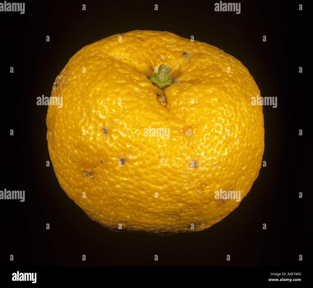 Whole citrus rootstock fruit Citrus junos variety Yuzu - Stock Image