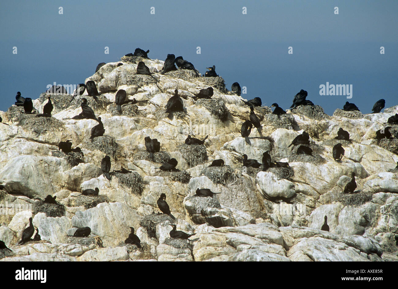 colony of cormorants on rock / Phalacrocorax carbo - Stock Image