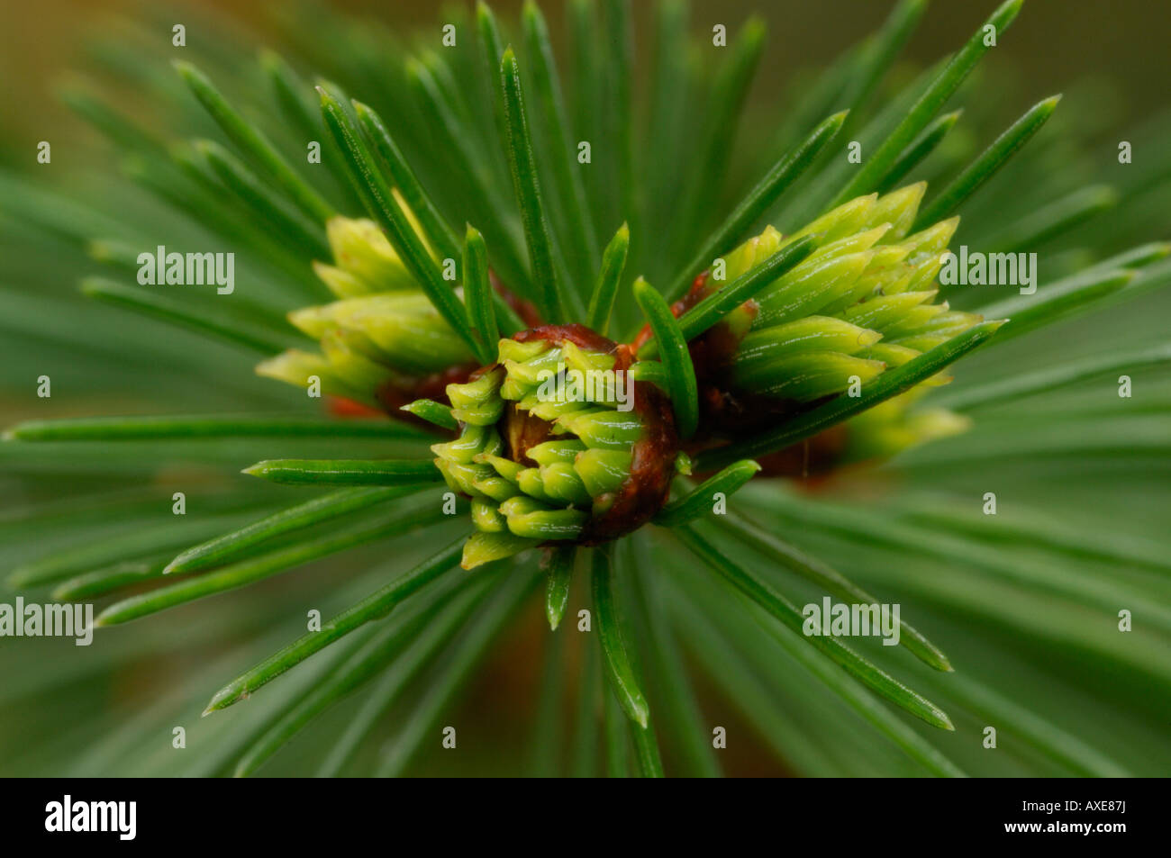 Close up of Norway Spruce Picea abies sappling Devon November 2007 - Stock Image