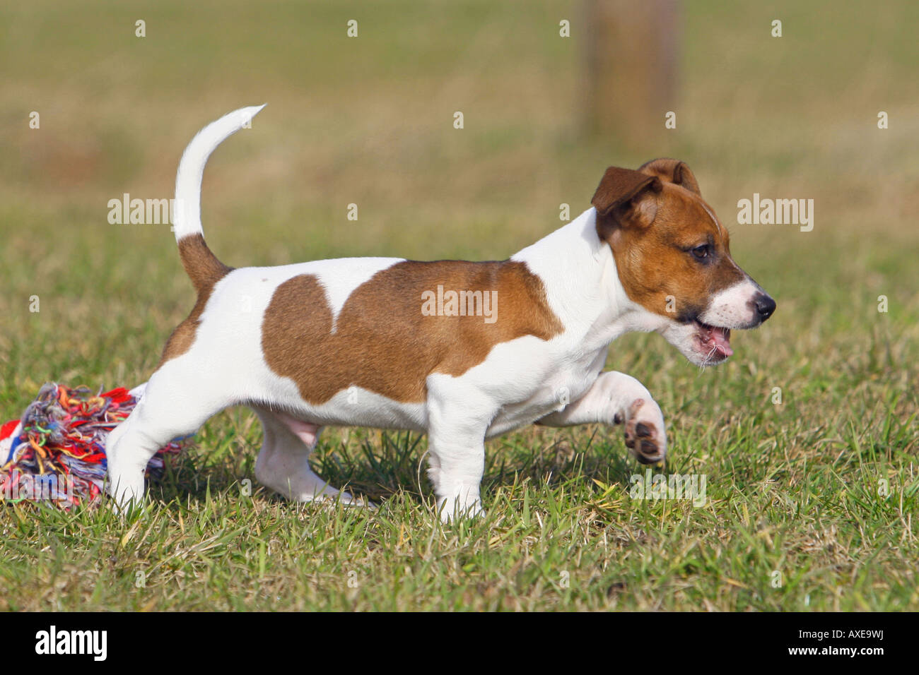 Jack Russell Terrier puppy with toy Stock Photo: 16818557
